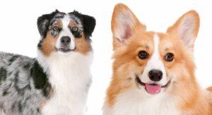 Australian Shepherd Corgi Mix – The Herding Dog Combination