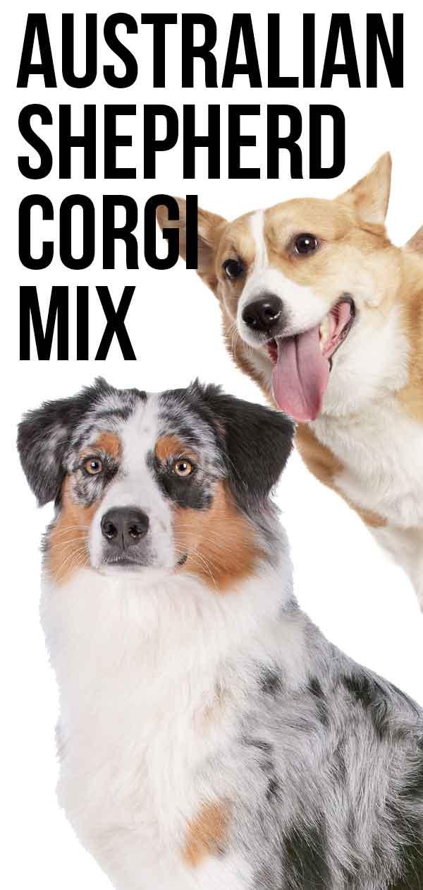 Australian Shepherd Corgi Mix - The Herding Dog Combination