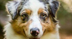 Australian Shepherd Lifespan and How to Help Them Live Longer