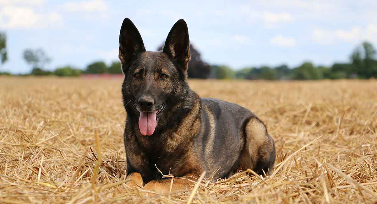 Belgian Malinois German Shepherd Mix - A Loyal, Active Dog