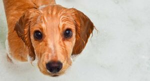 Best Puppy Shampoo – Top Choices For Clean And Shiny Coats