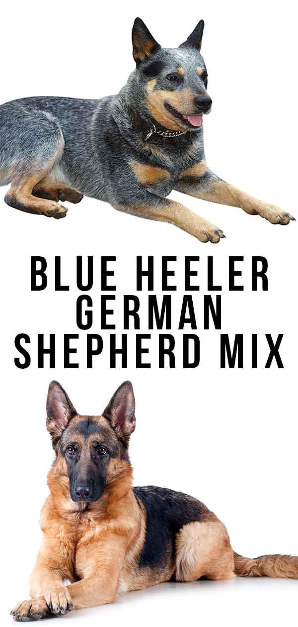 blue heeler german shepherd mix