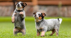 Blue Heeler puppies