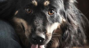 border collie rottweiler mix