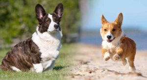 Cardigan Welsh Corgi Vs Pembroke