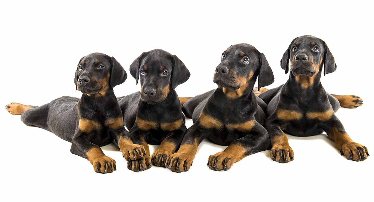 Doberman Lifespan - How Long Do Doberman Pinschers Live?