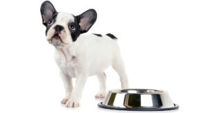 Feeding A French Bulldog Puppy – Schedules And Amounts
