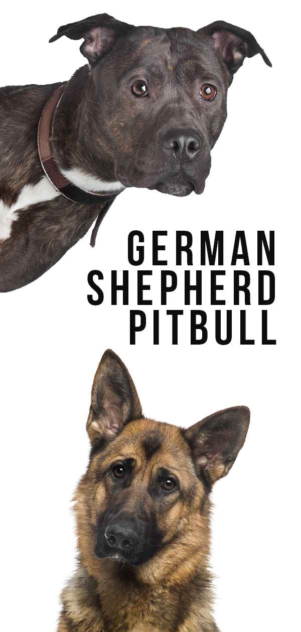 German Shepherd Pitbull Mix - A Complete Guide to this Unusual Cross
