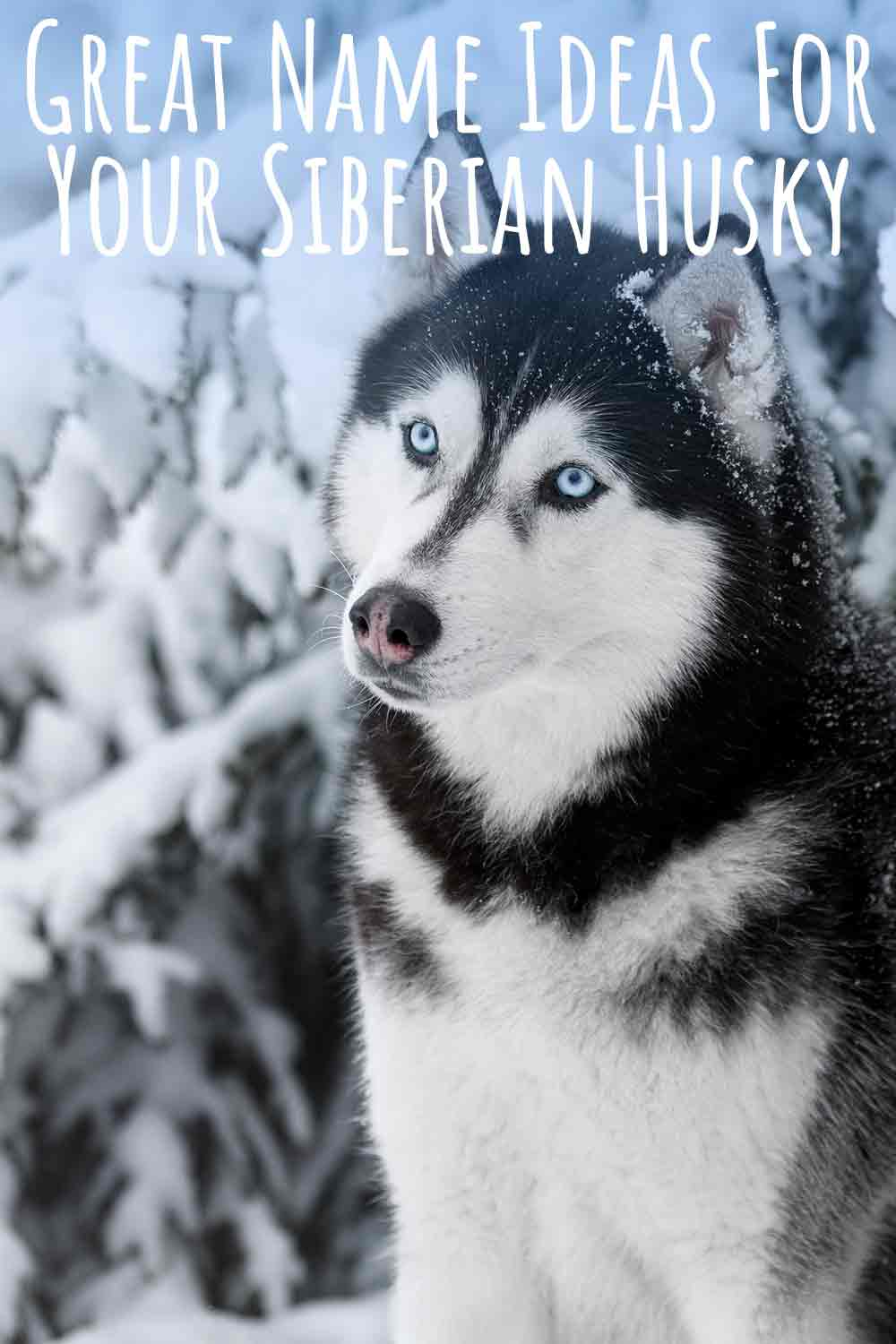 Great Name Ideas For Your Siberian Husky