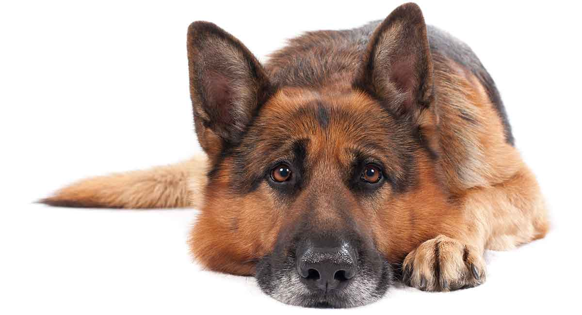 german shepherd lifespan