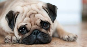 How Long Pugs Live, and How to Help Them Get Healthier