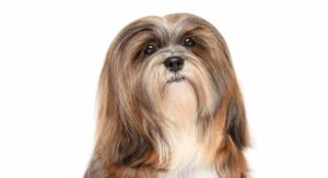 Lhasa Poo – The Lhasa Apso And Poodle Mix Breed