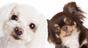 The Maltese Chihuahua Mix – Introducing The Malchi