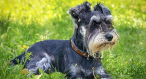 Miniature Schnauzer Lifespan – How Long Will Your Dog Live?