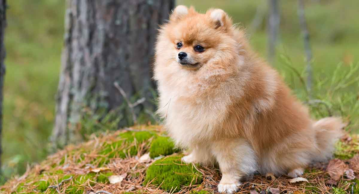 Pomeranian Lifespan How Long Do Poms Live On Average