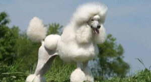 Poodle Lifespan – How Long Do Poodles Live?