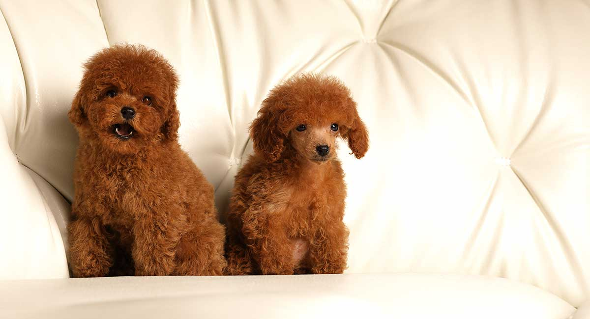 Red Toy Poodle All About This Stunning And Rare Color
