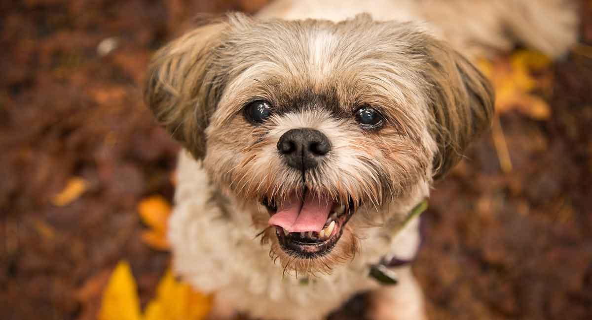 Shih Tzu Dog Breed Information Center Discover A Distinctive Little Dog
