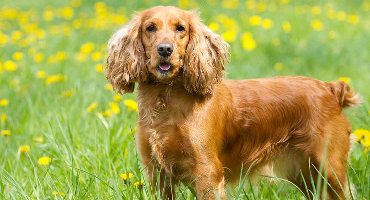 The English Cocker Spaniel - A Complete Guide To This