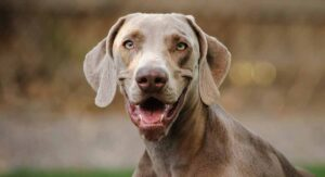 Weimaraner Lifespan – How Long Will Your Pet Live?