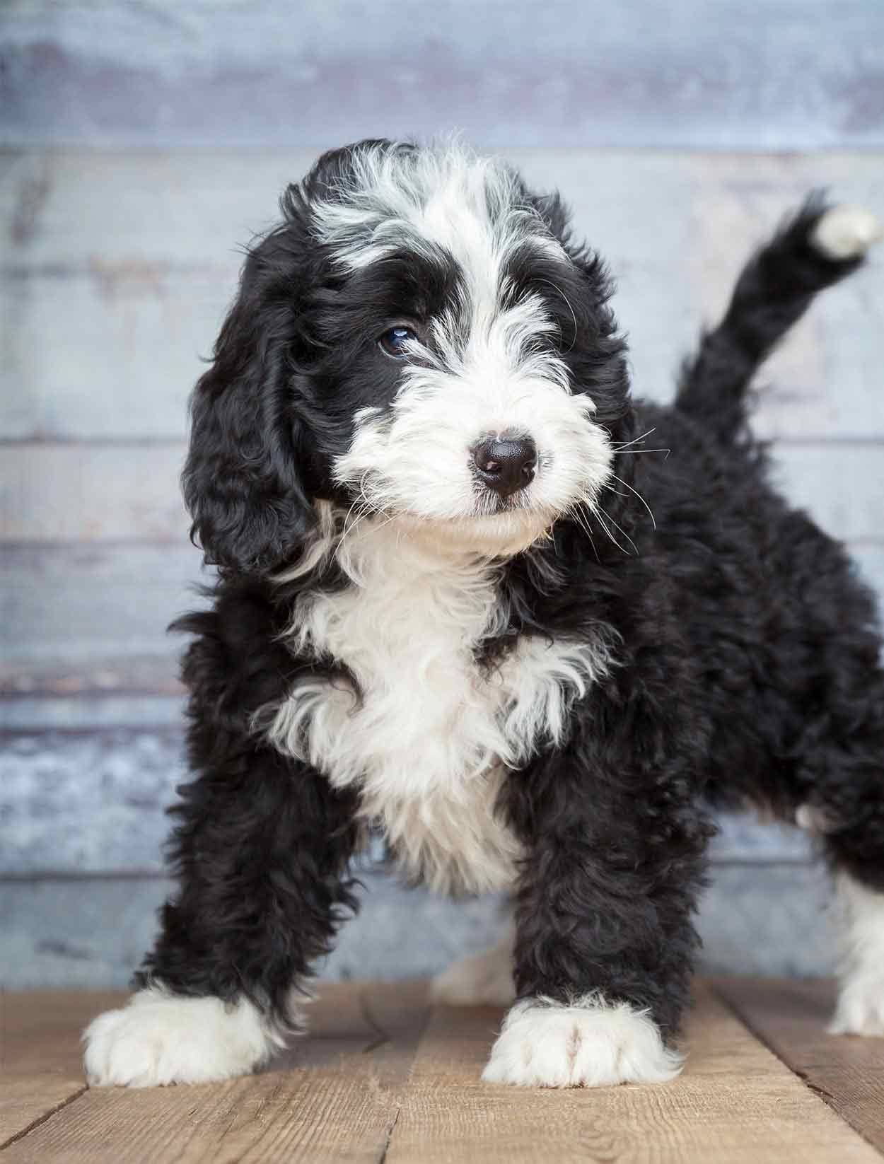 Poodle Mixes - The Twenty Most Popular Doodle Dogs