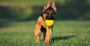 Best Chew Toys For German Shepherds