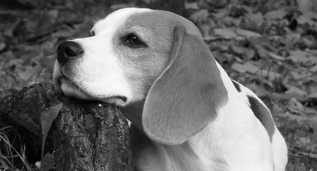 Black & White Beagle Colors and Patterns