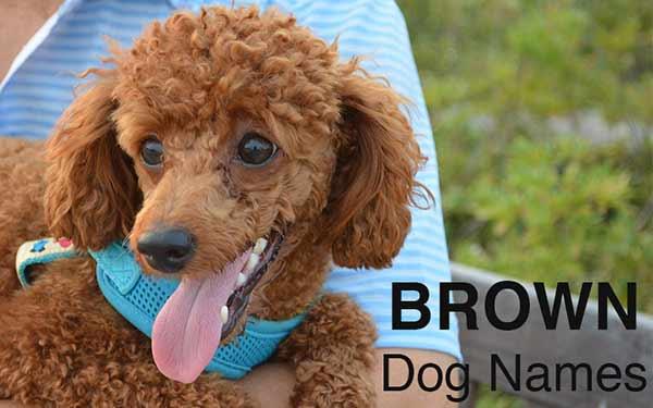 cute brown poodle