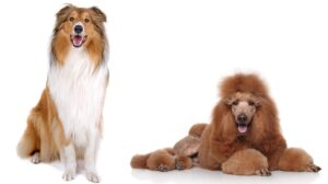 The Cadoodle – When You Cross a Collie With a Standard Poodle