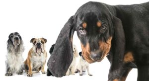 Coonhound Mixes – Which One Will Be Your Perfect Puppy?