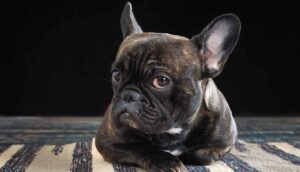 French Bulldog Names – 100s Of Names To Inspire You