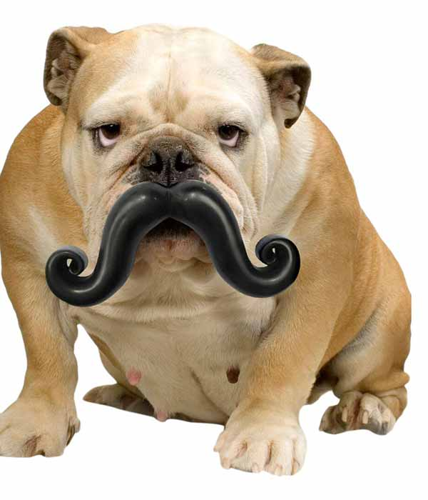 bulldog with moustache