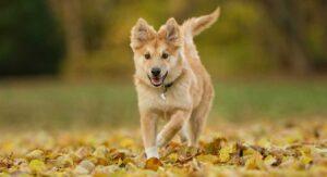 Icelandic Sheepdog: The Adorable Little Herding Dog