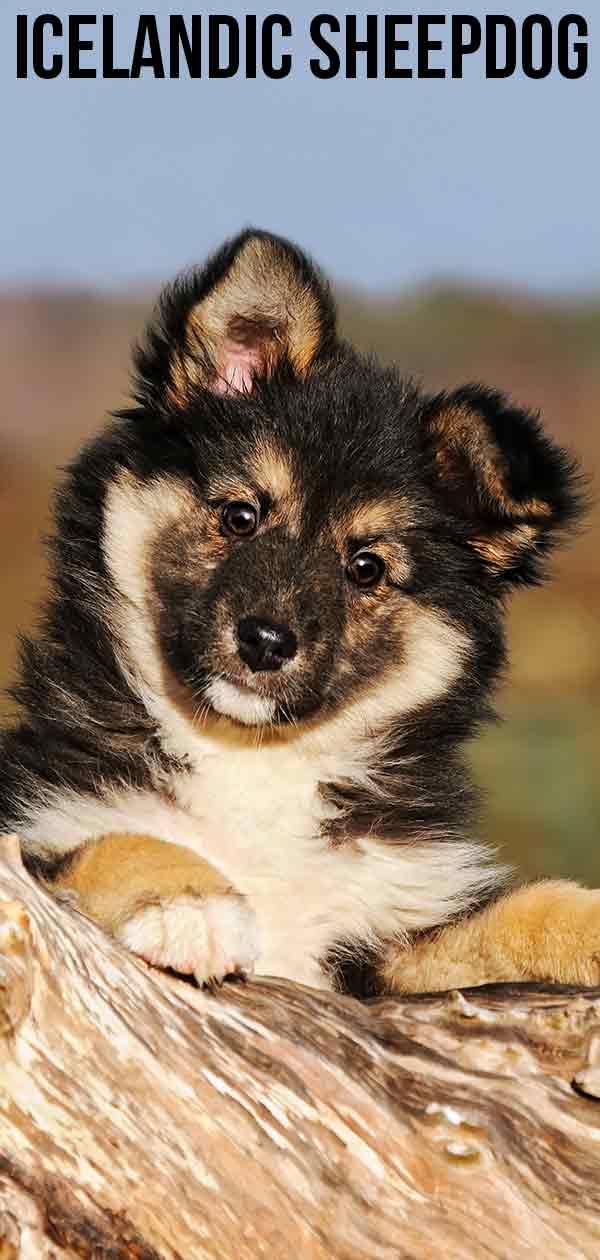 icelandic-sheepdog