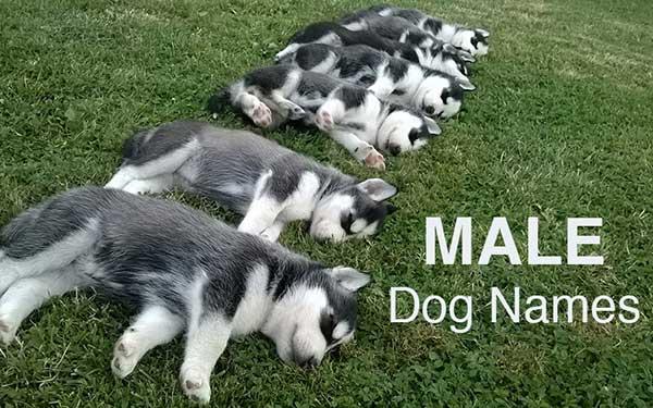 a row of husky puppies