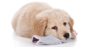 Help! – My Dog Ate A Sock! What Should I Do?