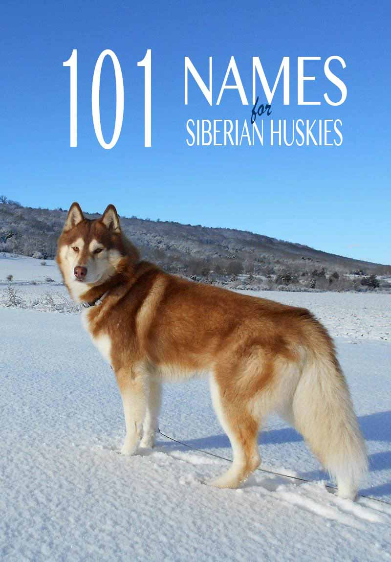 Husky Names 101 Great Name Ideas For