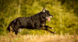 The Shollie – A German Shepherd Border Collie Mix