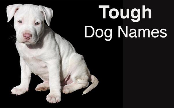 cute white pitbull puppy