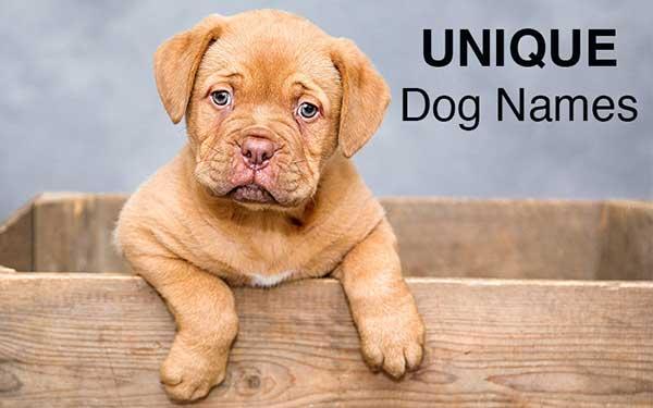 cute dogue de bordeaux puppy