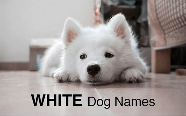 sweet white puppy lying down