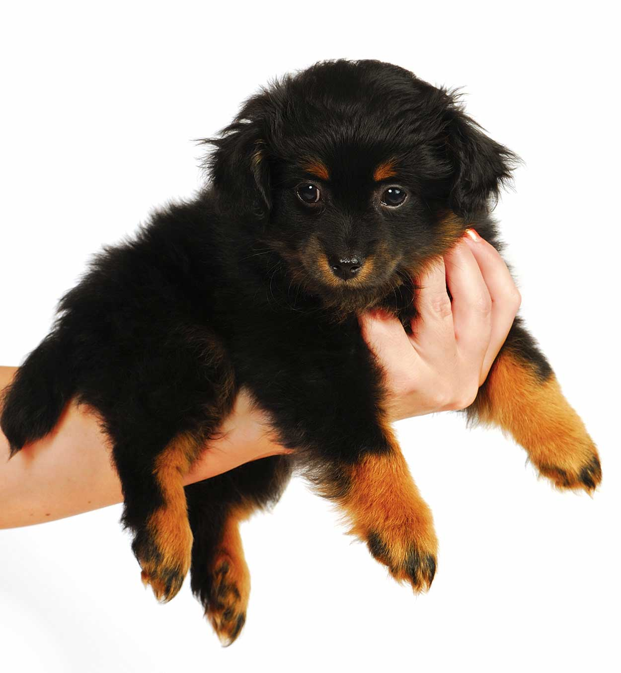 Yorkipoo - The Yorkshire Terrier Poodle mixes