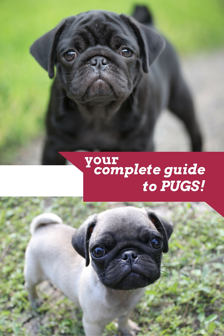 complete guide to the pug