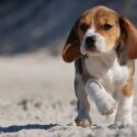 beagle facts