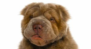 Bear Coat Shar Pei – What Makes This Unusual Fur So Special?