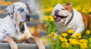 Catahoula Bulldog – Catahoula Leopard Dog American Bulldog Mix