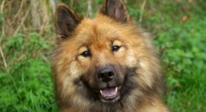 Eurasier – A Complete Guide to The Eurasian Dog Breed