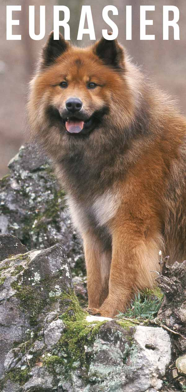 Eurasier guide