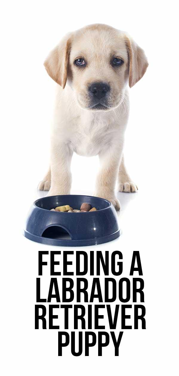 feeding a labrador puppy