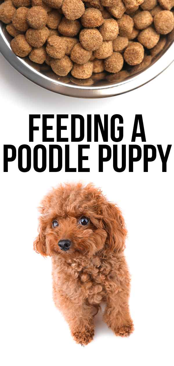 Feeding a Poodle Puppy